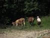 Krávy za motelem